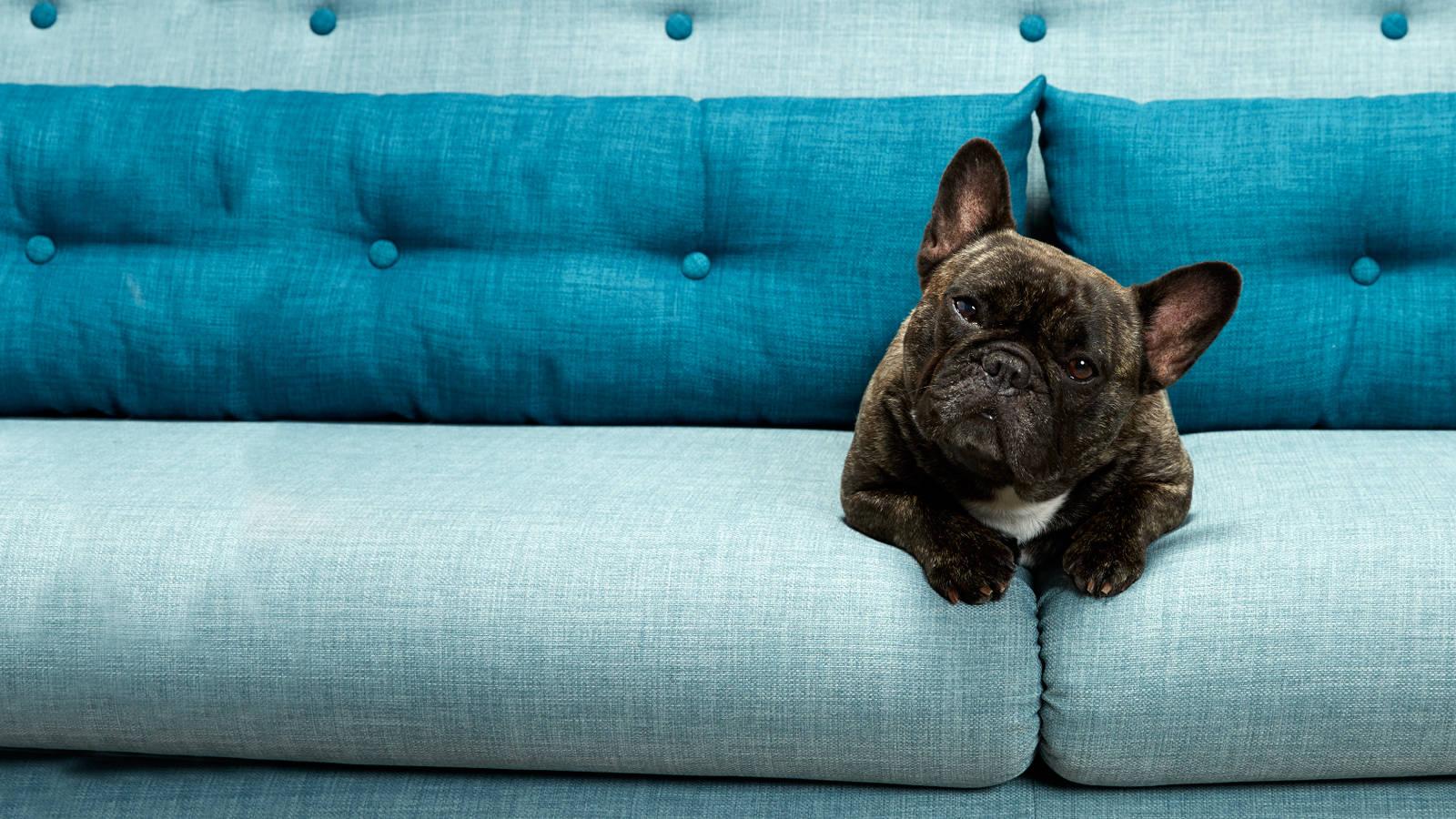 Dog sat on a light fabric sofa