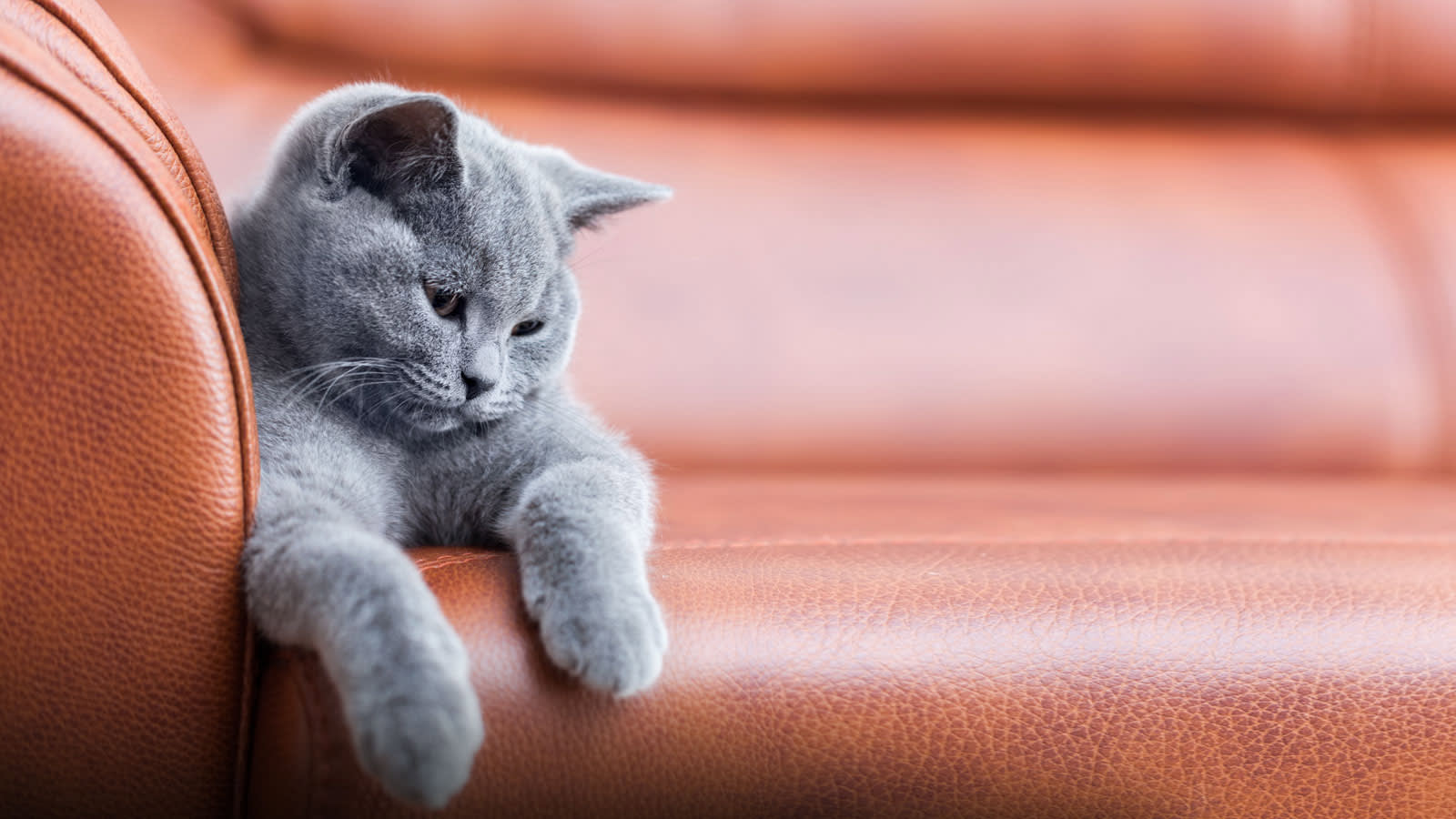 Cat sat on a brown leather sofa