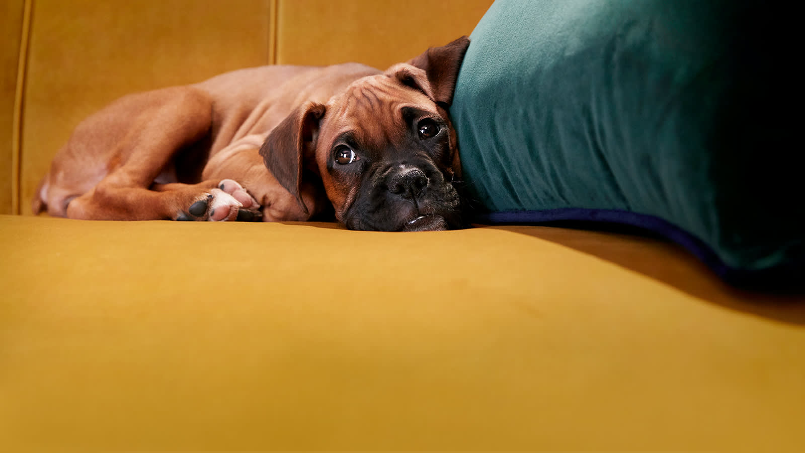 Puppy relaxing on a yellow Perle fabric sofa