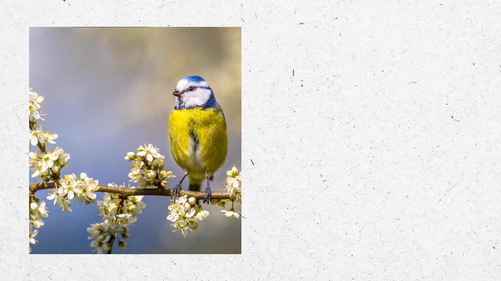 Blue tit sitting on a branch